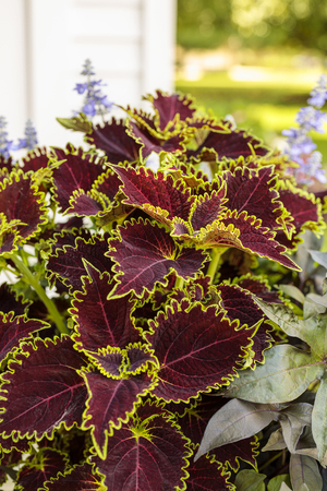 Bold hues and interesting leaf shapes make coleus an eye-catching plant, either on its own or with flowers or other foliage plants. Dark colors sometimes get lost in a garden, but this Color Blaze coleus's chartreuse edges make it glow.