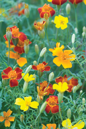 Little Gem marigolds are among the daintiest of edible blooms, and they're easy to grow. These tiny flowers have a spicy, citrusy flavor, delicious in salads or desserts. The plants make an easy edging around flower beds or in a vegetable garden. They're covered with flowers throughout the summer.