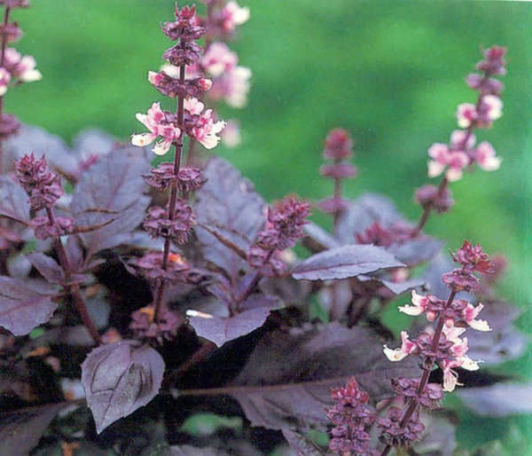 Dark Opal basil plants have pink and purple flower spikes, pretty in the garden and tasty in salads, soups and pastas, or as a garnish in cocktails. Mrs. Burns lemon basil has a citrusy flavor. Thai basil is spicy. Try several -- they're all tasty.