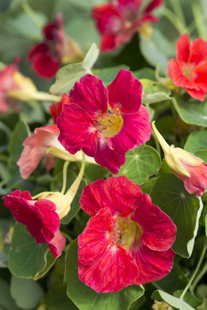Nasturtiums are a classic, peppery-tasting flower. Eat the blooms or buds -- and toss a few leaves into a salad, too. This one is Tip-Top Rose, an All-America Selections winner. To grow them from seed, soak the seeds for a couple of hours before planting.