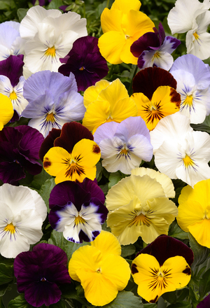 Pansies flourish in cool fall conditions. Their flowers only look delicate; these big and vigorous Cool Wave pansies will bloom for months in fall and then perk up again in spring after the snow melts. They are tough enough to survive temperatures of 20 below zero.