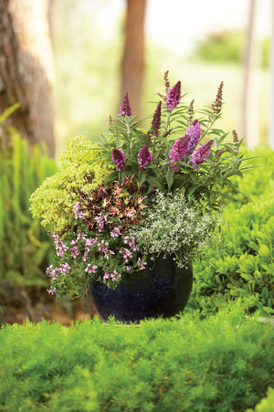 Some combinations in pots keep blooming all summer long and still look lively in the fall garden after the weather turns. This combination of Diamond Frost euphorbia, butterfly bush and coleus will look great until a hard frost ends the season. In mild climates, it will keep going through the winter.