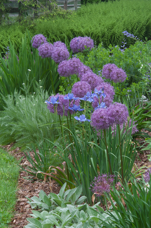 Emerging perennial flowers hide the fading foliage of alliums -- but with exceptionally showy flowers such as these Globemaster blooms, which stand three feet tall and bear flower heads 10 inches in diameter, you can bet no one will be looking at the leaves. Plant them among peonies for a striking effect.
