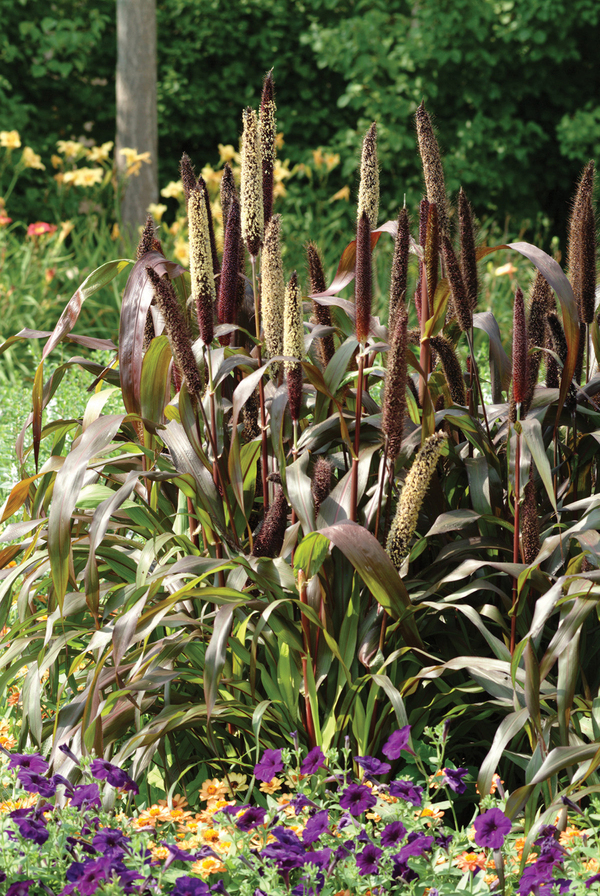 The foliage of Jester millet changes colors through the season: The chartreuse leaves develop touches of purple and then turn dark burgundy in the summer sun. The flower spikes also turn from yellow to purple as they mature. Jester blooms later than Purple Majesty, and grows up to 4 feet tall.