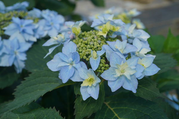 Tuff Stuff Ah-Ha is a lace-cap hydrangea with pale blue double flowers that look like starbursts at the tops of stems up to 3 feet tall. Plant it in sun to part shade.