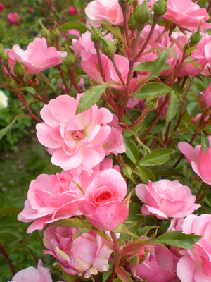 Shrub roses bloom all summer long. In fall, their flowers last an especially long time. Let them bloom, and don't cut the spent flowers off until spring. This is Easy Elegance Pinktopia, hardy in Zones 4 through 9.
