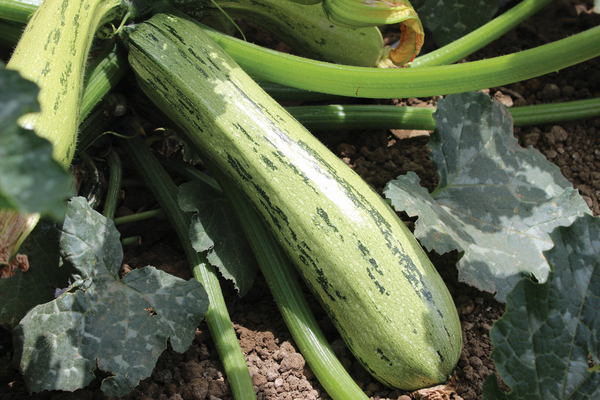Two-tone Bossa Nova zucchini, a 2015 AAS winner, steals the show with its striking markings. Gardeners can count on this disease-resistant variety to produce squash for three weeks longer than most other summer squash.