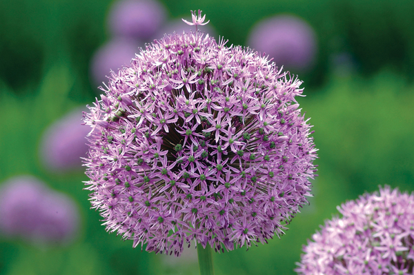 A close-up of the five-inch flower head of a Gladiator allium shows just how many tiny flowers make up the showy ball of bloom. Gladiator grows to about 40 inches tall in the garden.