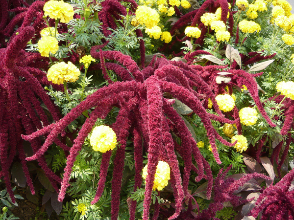 Love-Lies-Bleeding is the old-fashioned common name for this amaranth, which is practically covered in long, tassel-shaped flowers in summertime. Here it grows with bright yellow marigolds. Both plants thrive in heat and sun.