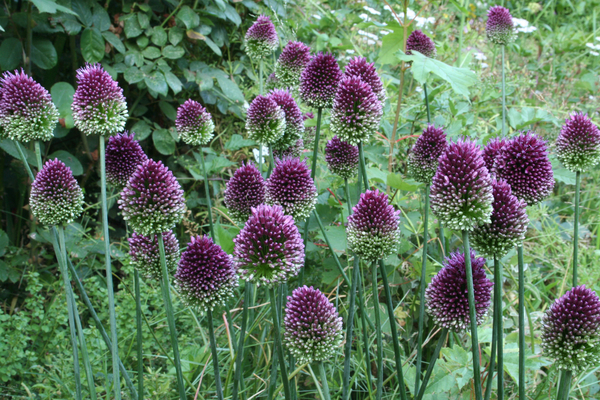 "The drumstick allium has egg-shaped, deep purple blooms in early summer. This one you can plant in big groups. ""You have to use a lot of it to have sufficient impact,"" says garden designer Barbara Katz. That's easy: you can buy 50 bulbs for $10 or $12."