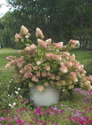 Panicle hydrangeas are late-blooming shrubs with large, creamy flowers that fade to russet or pink. Little Lamb (shown here) is a good choice for smaller gardens; it grows 4 to 6 feet tall in sun or part shade. Japanese beetles do not bother Little Lamb.