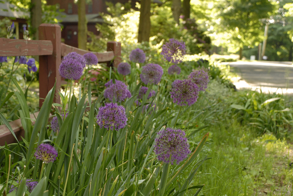 Alliums are tall enough to grow in the back of a flower bed, but they're spectacular front-of-the-border plants, too, and they make a big impression at the street. If you want curb appeal in spring, plant alliums. Pictured is the Gladiator variety.