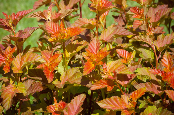 Don't forget foliage plants, which contribute color and texture to a fall garden. Ninebark Amber Jubilee flashes the colors of a campfire.