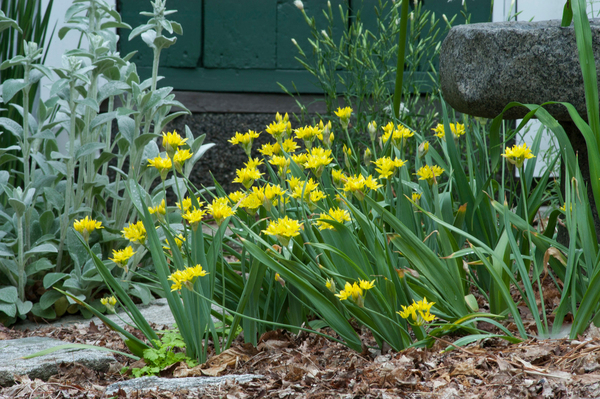 Little yellow Allium moly makes a case for niche planting in this spring garden. Most small bulbs thrive in sunny spots and well-drained soil. A rock garden, or the edge of a stone path, could be ideal.