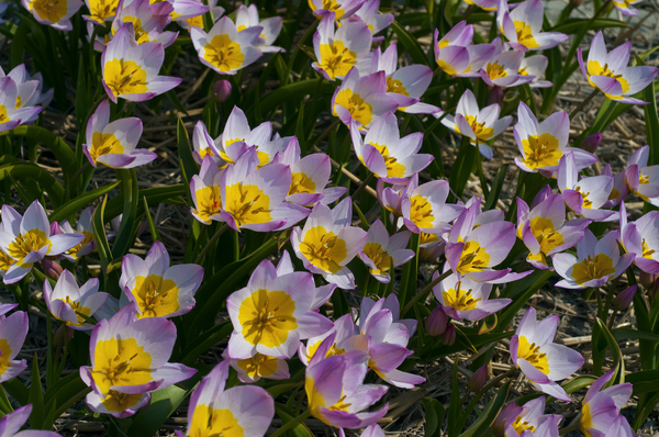Little tulips make a big impression. This is Bakeri Lilac Wonder, a jaunty pink tulip with a sunny yellow center, native to the island of Crete. It grows to only 8 inches tall. A hundred bulbs cost less than $20.